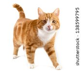 Stock photo red male cat walking towards camera isolated in white 138599795