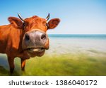Cows On The Sea. Cows On The...