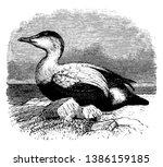 Elder Duck Is A Large Sea Duck...