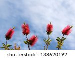 Callistemon  A Ornamental Shru...