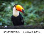 Tucano toco isolated bird...