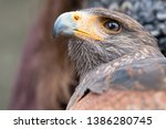 beautiful buzzard with a curved ... | Shutterstock . vector #1386280745
