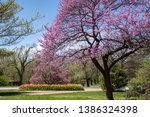 Pink Blossom Tree With Tulips...