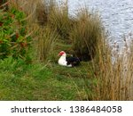 Muscovy Duck By The Lake ...