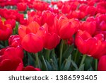 red tulip at flowers farm | Shutterstock . vector #1386593405