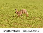 Stock photo portrait of brown hare wildlife on the meadow field 1386665012