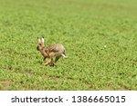 Stock photo wild brown hare runs along a farm meadow in the spring 1386665015