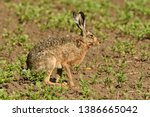 Stock photo portrait of brown hare wildlife on the meadow field 1386665042