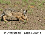 Stock photo brown hare eats spring grass on the meadow 1386665045