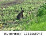 Stock photo wild brown hare runs along a farm meadow in the spring 1386665048