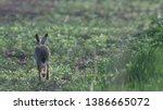 Stock photo wild brown hare runs along a farm meadow in the spring 1386665072