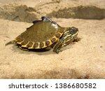 Juvenile Pascagoula Map turtle (Graptemys gibbonsi) basking on sandbar, close up, Mississippi