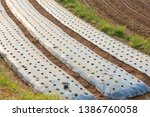 strawberry field covered with... | Shutterstock . vector #1386760058