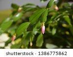 The Cactus Decembrist Beautifu...