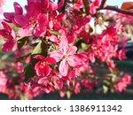 apple blossom. pink apple... | Shutterstock . vector #1386911342