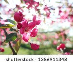 blooming pink apple flower with ... | Shutterstock . vector #1386911348