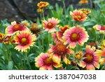 Gaillardia Pulchella Blooming...