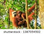 Female Sumatran Orangutan With...