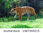 malayan tiger on green grass.... | Shutterstock . vector #1387344215