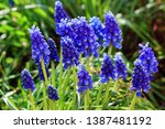 A Muscari Armeniacum Flower Or...