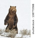 Brown Bear in Yellowstone National Park, Wyoming image - Free stock photo - Public Domain photo ...