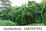 beautiful  massive jungle trees ...