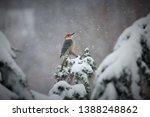 Red Bellied Woodpecker  Perche...