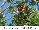 Scarlet Macaw In A Project Of...
