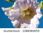 White Hollyhock Flower Shot In...