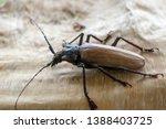 giant fijian longhorn beetle... | Shutterstock . vector #1388403725