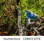 A Tricolored Heron  Also Known...