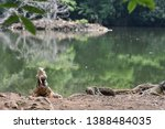 iguana in front lake  colombia | Shutterstock . vector #1388484035