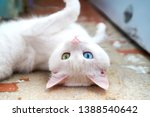 White Cat With Different Eyes....