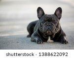 french bulldog canine portrait...   Shutterstock . vector #1388622092