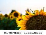 a photo of a sunflower in a... | Shutterstock . vector #1388628188