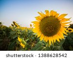 a photo of a sunflower in a... | Shutterstock . vector #1388628542