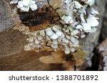 White Polypore Shelf Fungus...