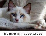 Stock photo ragdoll ragdolls wallpaper cat background 1388915318