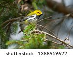 A Black Throated Green Warbler...