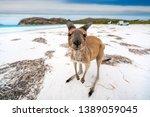 Stock photo kangaroo at lucky bay in the cape le grand national park near esperance western australia 1389059045