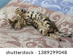 Stock photo bengal kitten playing in the background 1389299048