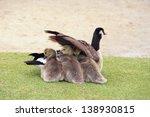 Canada Goose And Goslings Three ...
