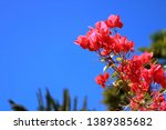 Blooming Red Bougainvillea...