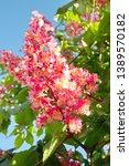 Blossom Of  Red Horse Chestnut  ...