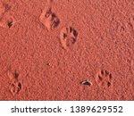 Dingo, (Canis dingo), tracks of the Native Wolf or Dog of Australia.   Dingo Tracks in the Great Sandy Desert, Western Australia.