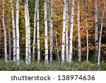 Autumn Birches Warm Sunset...