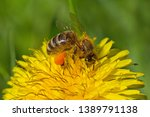 close up of bee collecting... | Shutterstock . vector #1389791138