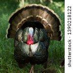 Male Turkey In Full Plumage