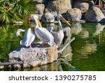 Three White Pelicans Are...