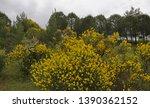 Yellow Flowering Spartium...